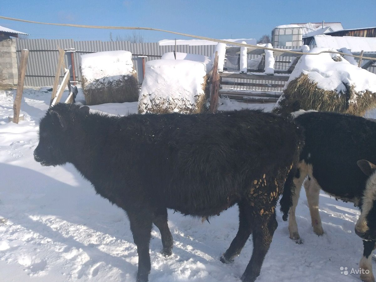 4 бычков и 2 телки
