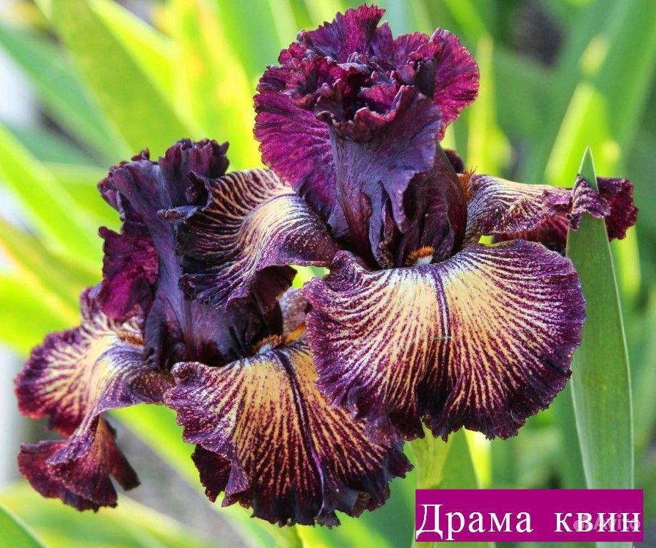 Ирисы купить на Зозу.ру - фотография № 7
