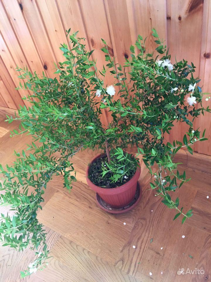 Миртовое и кофейное дерево купить на Зозу.ру - фотография № 2