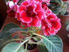Глоксиния листики
