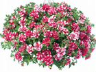Рассада цветов В таганроге