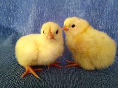 Инкубационное яйцо бройлера, индейки, утки