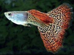 Рыбки (гуппи)