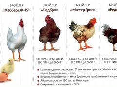 Цыпленок цветной и белый бройлер