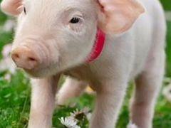 Мясо свинины, четвертинками