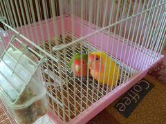 Неразлучники+клетка+гнездо