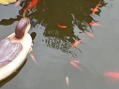 """Рыбки- """"Каметы"""""""