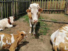Продам коров и телят разных возрастов