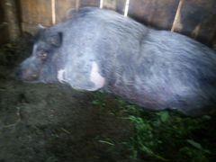 Вьетнамская свино матка и хряк