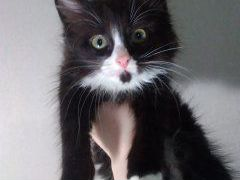 Котёнок, пушистый, 3 месяца. Чёрно-белый