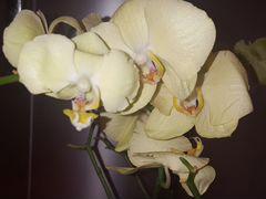 Орхидеи и антуриумы