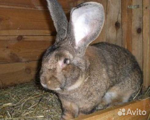 Грэм рассказала кролик фландр купить в спб цена заработок интернете