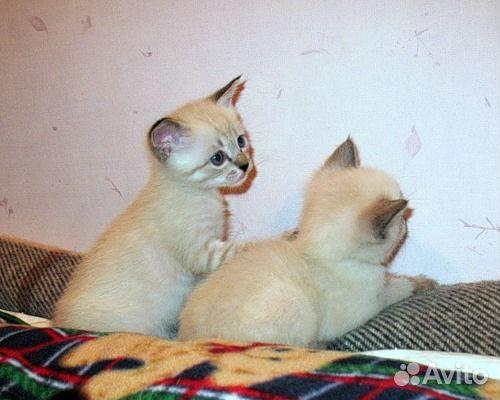 Чем кормить совсем маленького котенка? - Форум о тайских ...