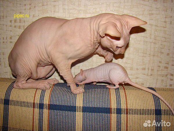 крысы сфинксы фото