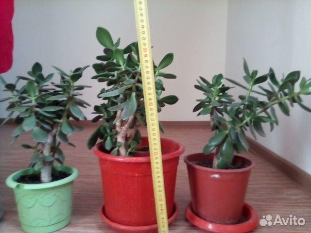 Толстянка (денежное дерево) 89615422677 купить 6