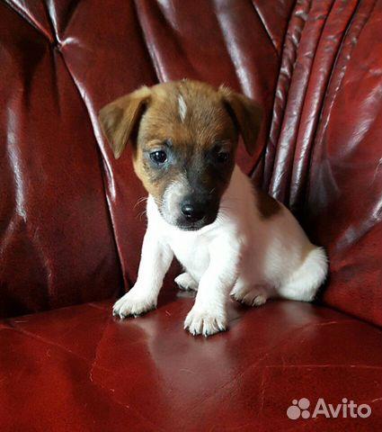 Джек рассел терьер большой выбор щенков купить на Зозу.ру - фотография № 2