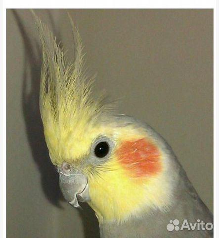 Попугай корелла  89800157867 купить 2