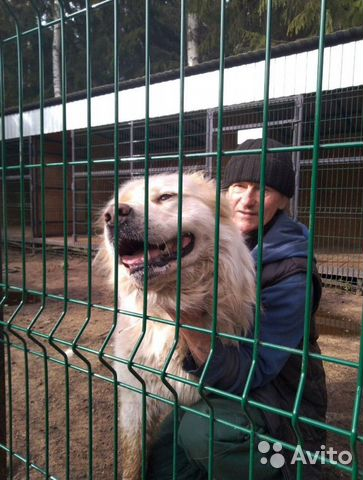 Горшая пиренейская собака в добрые руки, близкий м купить 10