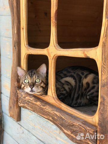 Бенгальский котик вязка  купить 4