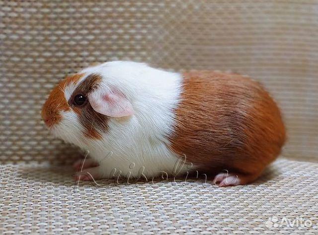 Гладкая морская свинка самец  89633433393 купить 3