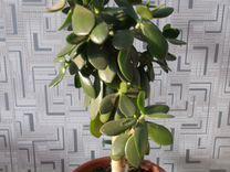 Денежное дерево (Толстянка)