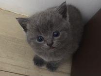 Британские, шотландские котята-девочки
