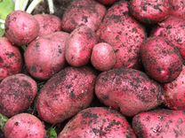 Продаю картофель нового урожая