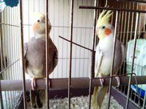 Весёлые попугаи Корелла