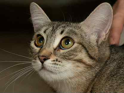 Пятнистая кошка полосатая кошка Джемма, стерильна