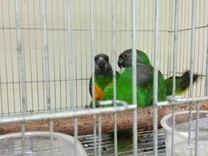 Сенегальский попугай — Птицы в Москве