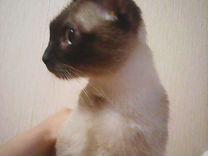 Вязка Сиамской кошки