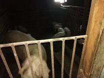Свиноматки