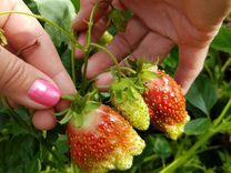 Рассада клубники(земляники садовой), малины