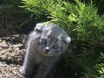 Скотишфолдт котята вислоушки