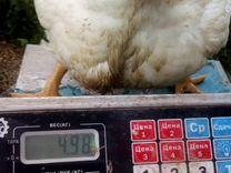 Цыплята кобб 500 Чехия,индюшата Хайбрид элита