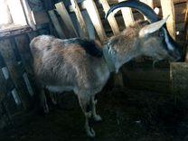 Козы, Перуанская- Альпийская